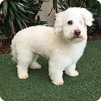 Adopt A Pet :: Cotton - Rancho Palos Verdes, CA