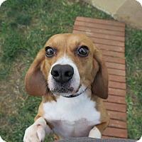 Adopt A Pet :: Bells - Yardley, PA