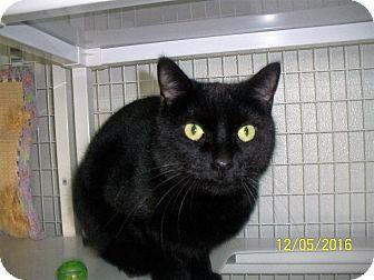 Domestic Shorthair Cat for adoption in Gunnison, Colorado - Mr. Midnight