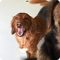 Adopt A Pet :: Myia - New Canaan, CT
