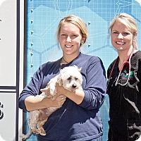Adopt A Pet :: Lulu - Cashiers, NC