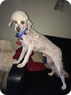 Poodle (Miniature) Mix Dog for adoption in West Valley, Utah - Whitey