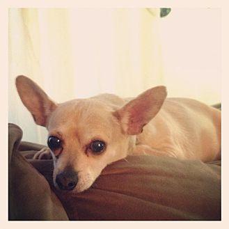 Chihuahua Mix Dog for adoption in Reynoldsburg, Ohio - Jack