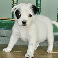 Adopt A Pet :: Ringo - San Antonio, TX