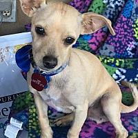 Adopt A Pet :: Mario - Cutest Chihuahua Boy - Seattle, WA