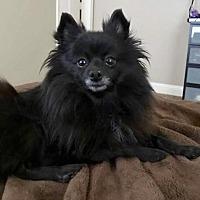 Adopt A Pet :: Zoey Zeppelin - Dallas, TX