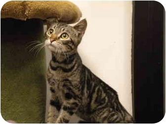 Domestic Shorthair Kitten for adoption in San Diego, California - Julian