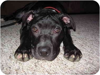 American Pit Bull Terrier Mix Puppy for adoption in Reisterstown, Maryland - K'baa