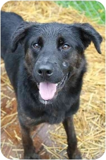 Labrador Retriever/Rottweiler Mix Dog for adoption in Waterloo, New York - Dawson