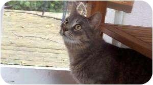Domestic Shorthair Cat for adoption in Warren, Michigan - Starz