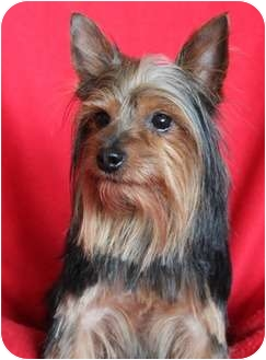 Yorkie, Yorkshire Terrier Dog for adoption in Wichita, Kansas - Sir William