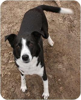 Border Collie Dog for adoption in Bellevue, Nebraska - Cashlin