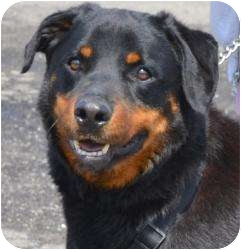 Rottweiler Mix Dog for adoption in Frederick, Pennsylvania - Baxter