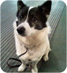 Corgi/Border Collie Mix Dog for adoption in Irwin, Pennsylvania - Taz