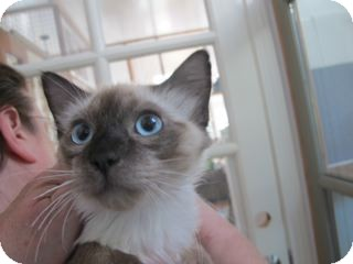 Ragdoll Kitten for adoption in Davis, California - Jeremy