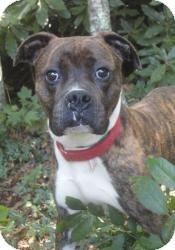 Boxer Mix Dog for adoption in Spruce Pine, North Carolina - Hoss