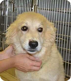 Great Pyrenees/Golden Retriever Mix Puppy for adoption in Knoxville, Tennessee - Libby Pup