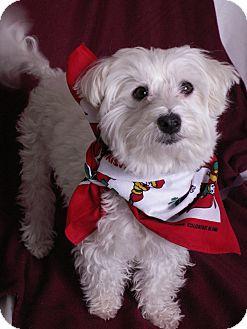 Maltese Mix Dog for adoption in Aurora, Colorado - Isis
