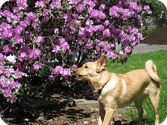 Basenji/Shepherd (Unknown Type) Mix Dog for adoption in Norwalk, Connecticut - Otis