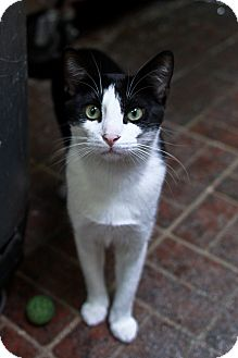Domestic Shorthair Cat for adoption in St. Petersburg, Florida - Icabod