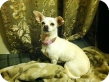 Chihuahua Mix Dog for adoption in Portland, Maine - Sophie ($100 off)