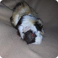 Adopt A Pet :: Scotty - Pittsburgh, PA