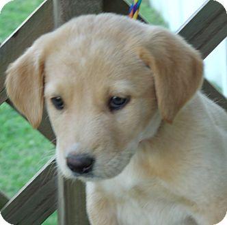Labrador Retriever/Australian Shepherd Mix Puppy for adoption in Waterbury, Connecticut - PLUTO