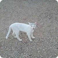 Adopt A Pet :: Gandalf - Tempe, AZ