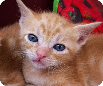 Domestic Shorthair Kitten for adoption in Brooklyn, New York - Peggy