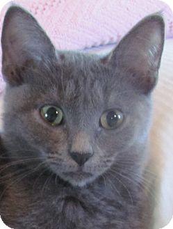 Russian Blue Kitten for adoption in Houston, Texas - Ailynn