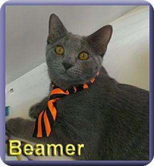 Domestic Shorthair Kitten for adoption in Aldie, Virginia - Beamer