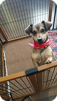Dachshund/Chihuahua Mix Puppy for adoption in Goodyear, Arizona - Cadence