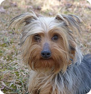 Yorkie, Yorkshire Terrier Mix Dog for adoption in Mocksville, North Carolina - Mariah