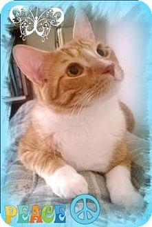Domestic Shorthair Kitten for adoption in Harrisburg, North Carolina - Samba