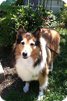 Sheltie, Shetland Sheepdog Dog for adoption in Abingdon, Maryland - Lady Di