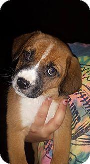 German Shepherd Dog/Labrador Retriever Mix Puppy for adoption in ST LOUIS, Missouri - Mickie