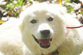 Great Pyrenees Mix Dog for adoption in Spring Valley, New York - Marza
