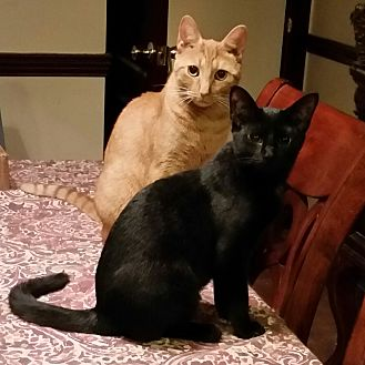 American Shorthair Cat for adoption in Old Bridge, New Jersey - Lucky and Rune