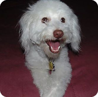 Poodle (Miniature) Mix Dog for adoption in Las Cruces, New Mexico - Kendra