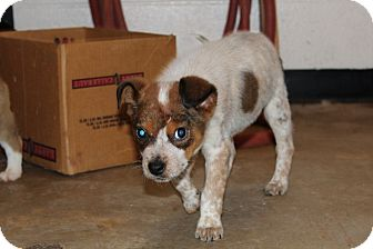 Cattle Dog Mix Puppy for adoption in Harmony, Glocester, Rhode Island - Maple