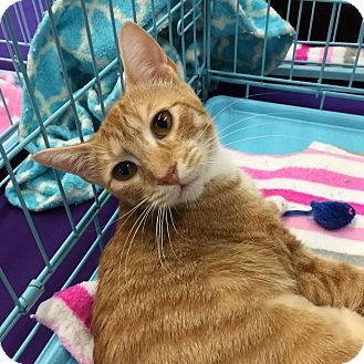Domestic Shorthair Cat for adoption in Mansfield, Texas - Liv