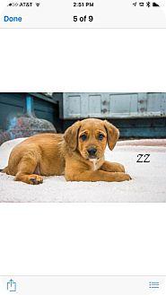 Shepherd (Unknown Type) Mix Puppy for adoption in West Hartford, Connecticut - ZZ