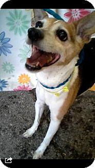 Rat Terrier Mix Dog for adoption in Las Vegas, Nevada - Sam