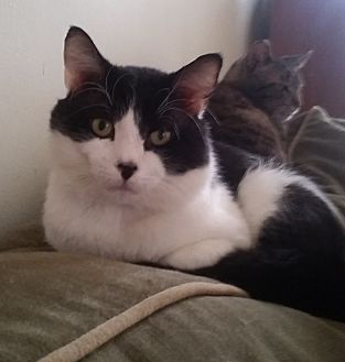 Domestic Shorthair Cat for adoption in St. Louis, Missouri - S'more