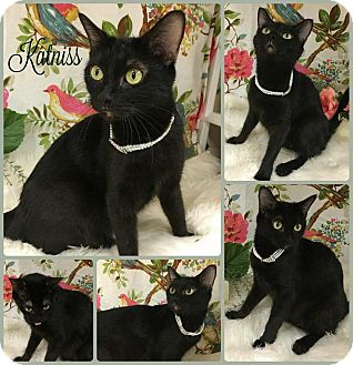 Domestic Shorthair Cat for adoption in Joliet, Illinois - Katniss