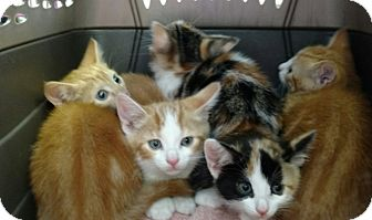 Domestic Shorthair Kitten for adoption in Randolph, New Jersey - Rainbow Kittens!!beautiful