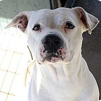 American Bulldog Mix Dog for adoption in Fort Madison, Iowa - Amari