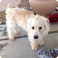 Adopt A Pet :: SAMMYBEAR - Higley, AZ
