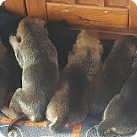 Adopt A Pet :: Matilda's Babies! - Antioch, IL
