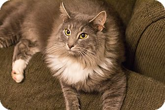 Domestic Longhair Cat for adoption in Morgantown, West Virginia - Boots